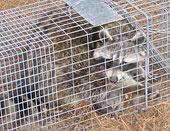 Humane raccoon trapping